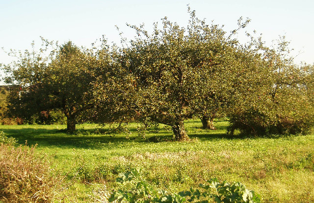 Apple trees on Small Lode, Upwell.