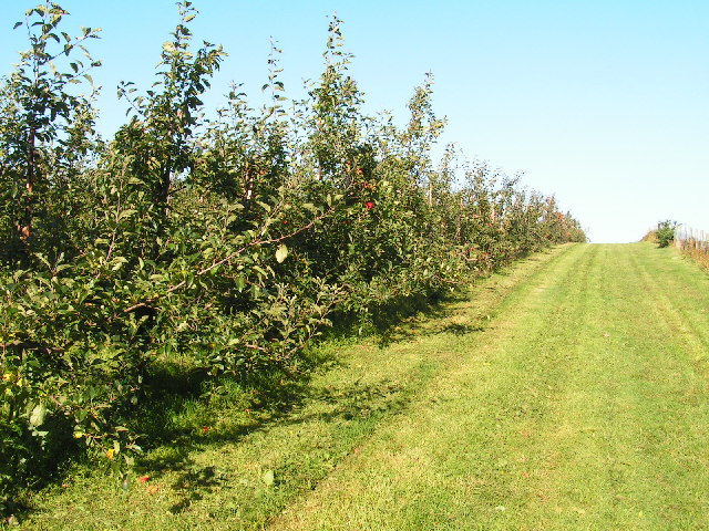 Apple Orchard, near Horsmonden