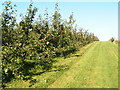 TQ6941 : Apple Orchard, near Horsmonden by N Chadwick
