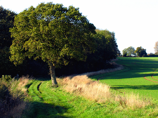 Oak Tree along Wick Lane