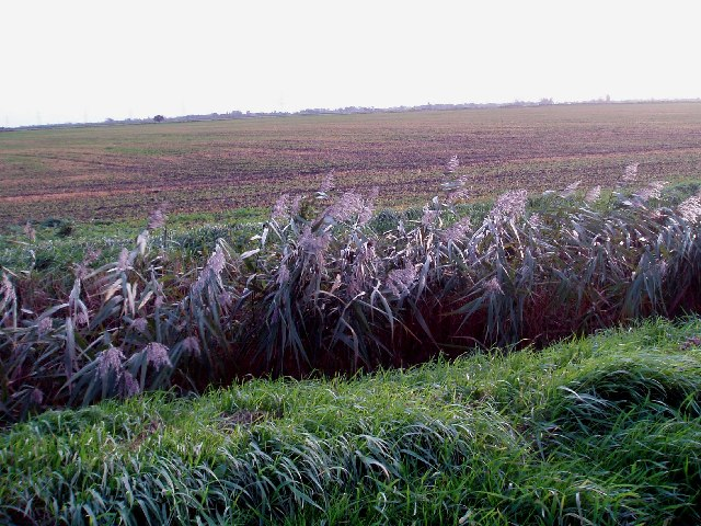 Reeds and farmland, Marshland Fen.