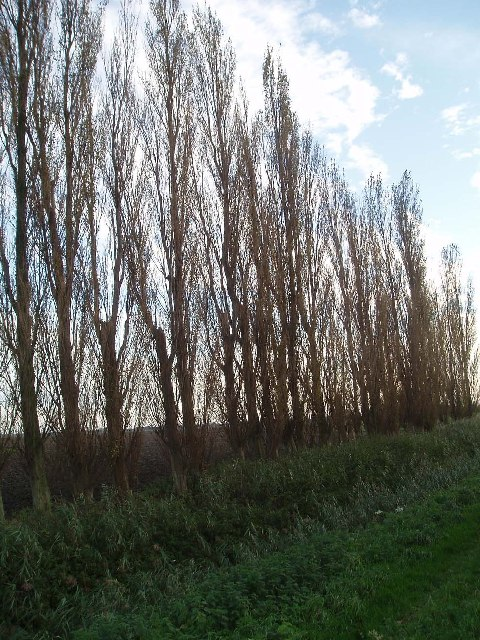 Italian poplars at Emneth Hungate.