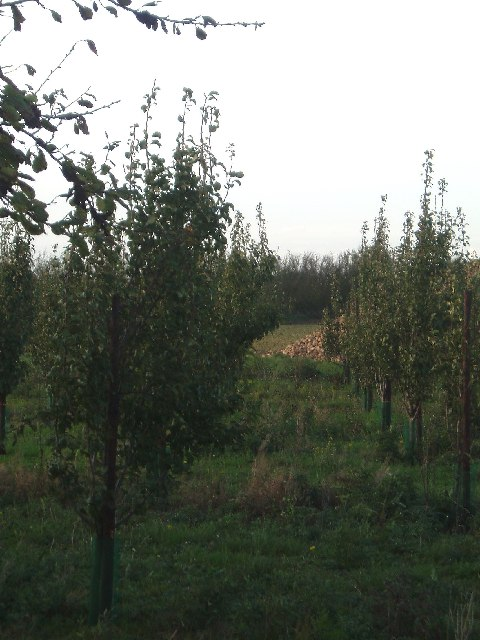 Recently planted apple trees, Fendyke.