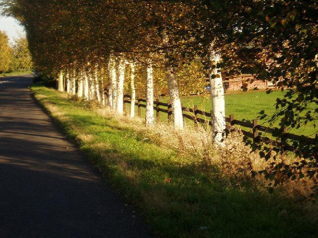 Birch tree trunks in evening light.