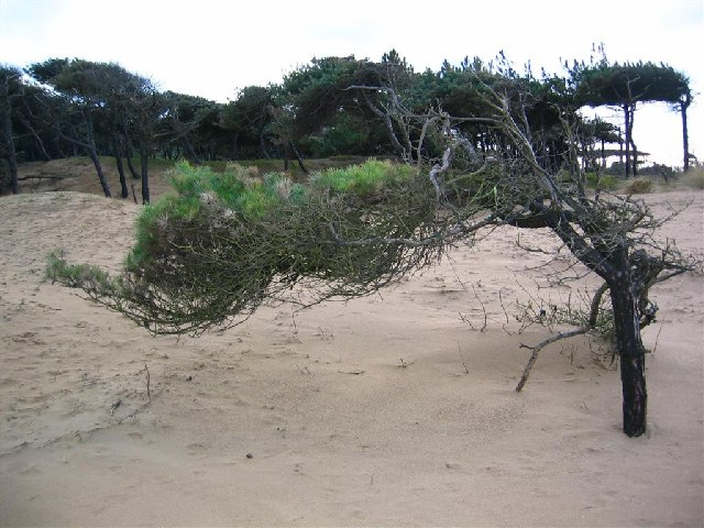 Desiccated Pine in Ainsdale Dunes