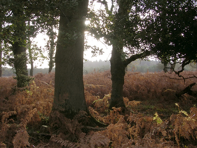 Trees on the edge of Poundhill Heath, New Forest