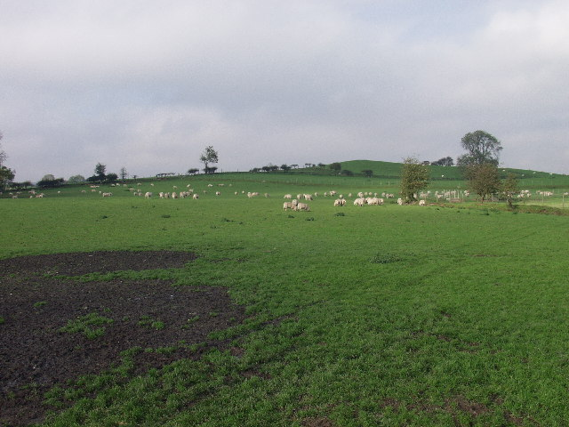 Sheep grazing at Tainant