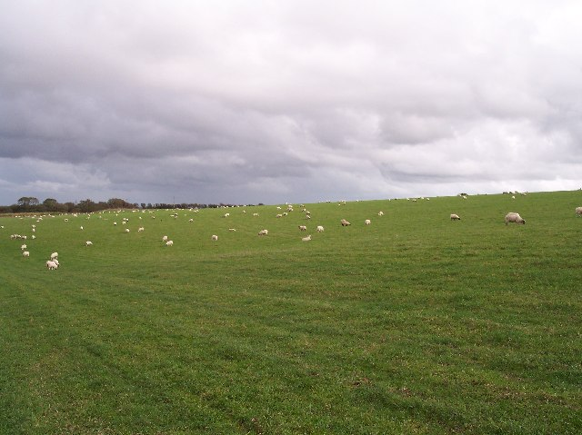 Sheep Grazing on Idlecombe Down