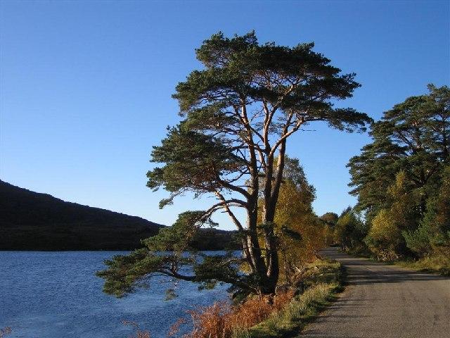 Scots Pine by the A896 by Loch Dughaill in Glen Shieldaig