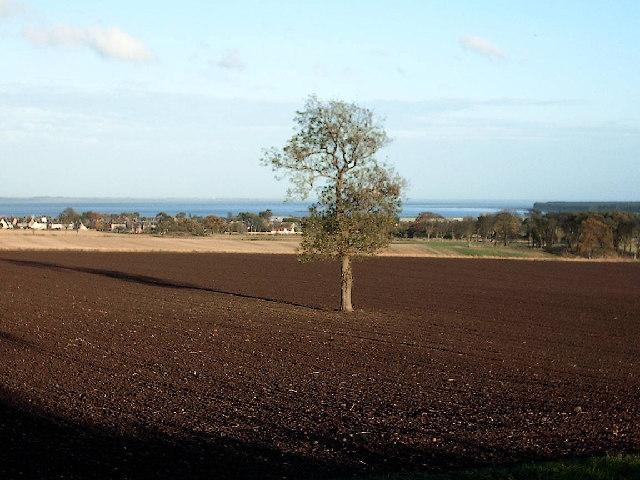 Tree near Tayport