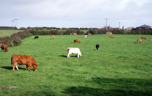 Cows grazing near Madron