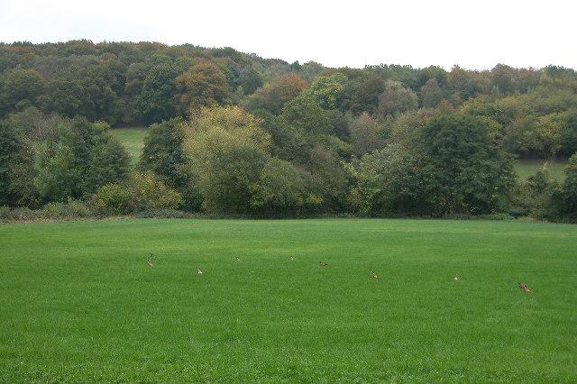 Pheasants in a field in front of Birch Wood