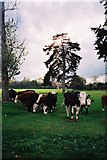 SU8978 : Pasture and cattle, north of Holyport by Andrew Smith