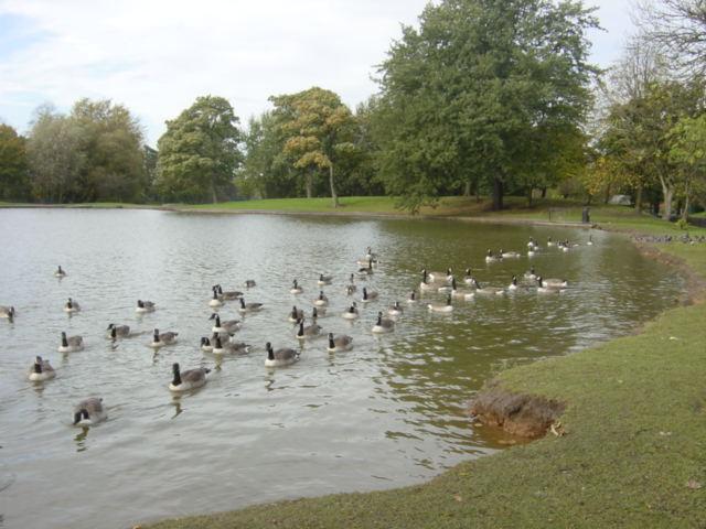 Canada Geese on Newsham Park Lake