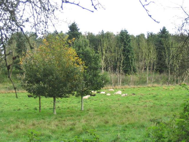 Grazing Sheep, Thorington, Suffolk