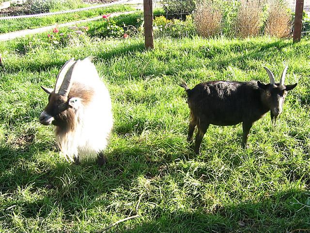 Goats at Gorse Hill City Farm