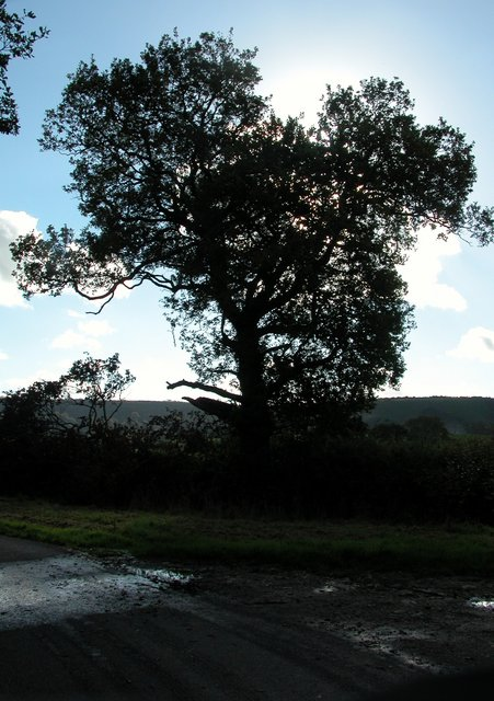 Oak tree at road junction close to Pipers Farm
