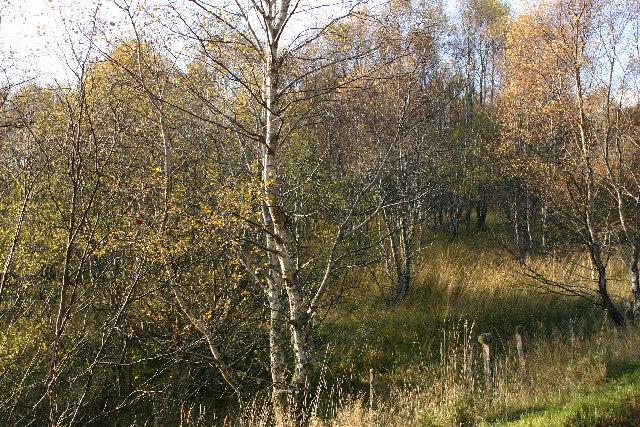 Birch and alder