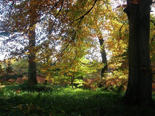 Beeches, Humbie Wood.
