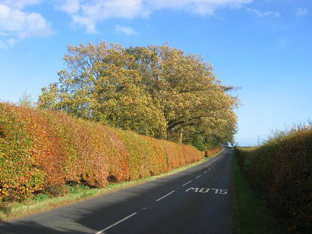 Beech hedge.