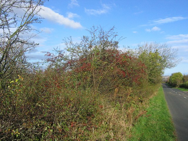 Laden hedgerow.