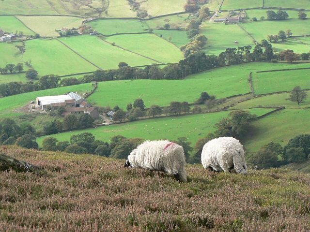 Sheep on High Blakey Moor