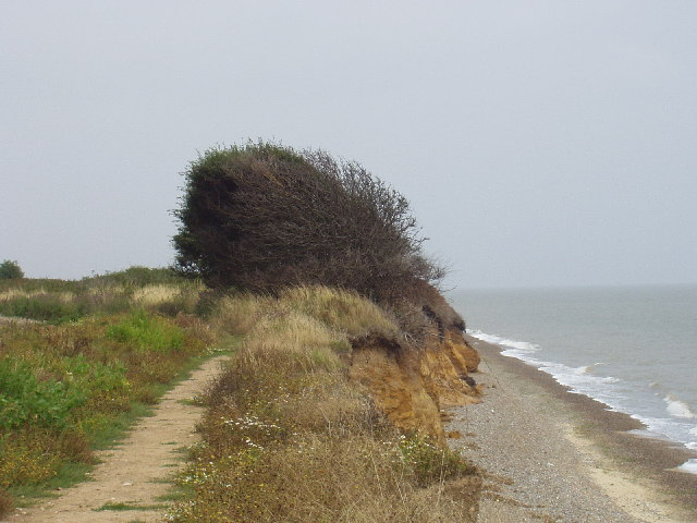 Tree shaped by prevailing wind