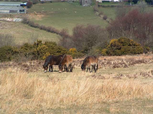 Exmoor Ponies on Anstey Money Common