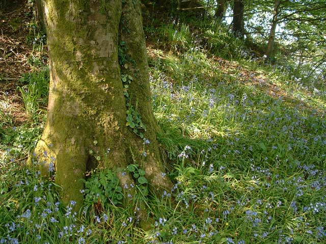Bluebells on Cairn