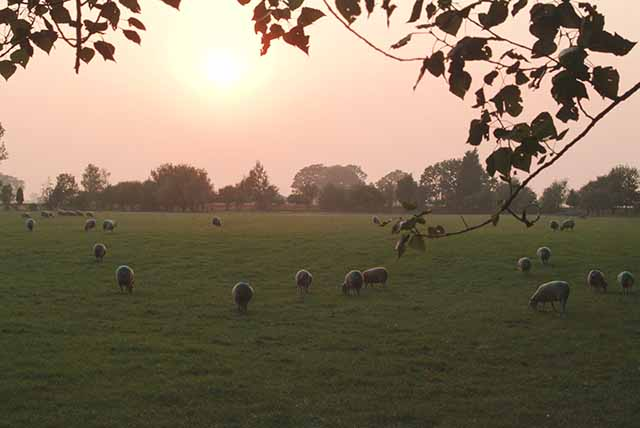 Sheep on Jekylls Farm