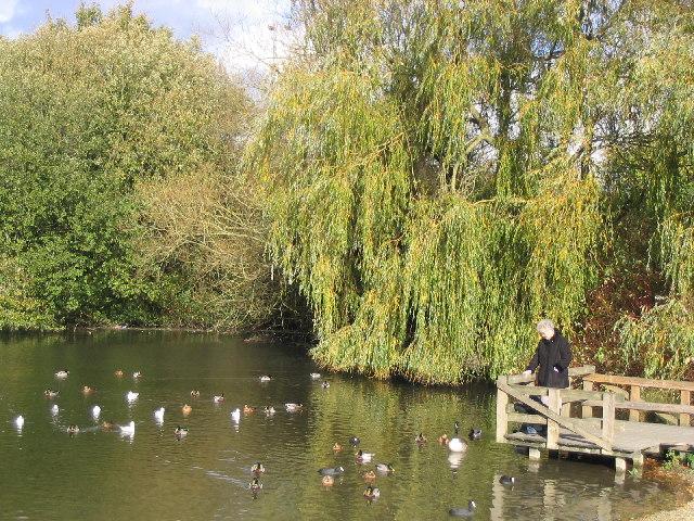 Hungry Ducks at Black Dam