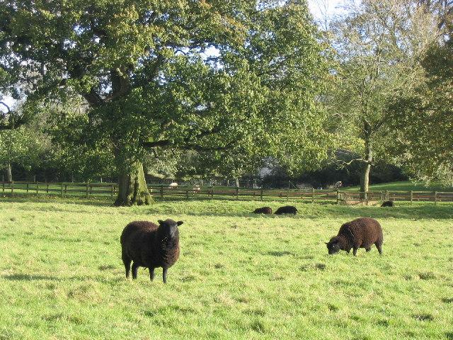 The Black Sheep of Herriard