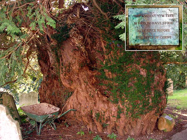 Ancient yew tree