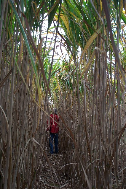 Inside the Miscanthus.