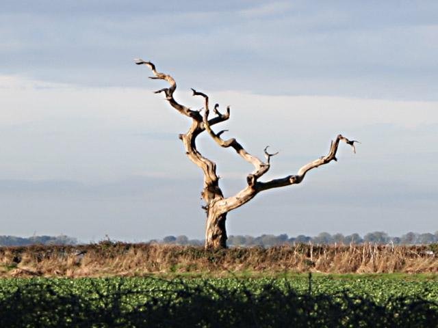 Dead Ash Tree, Lings Hill