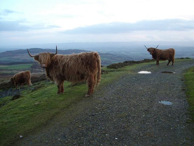 Highland Cattle above Glen Turret