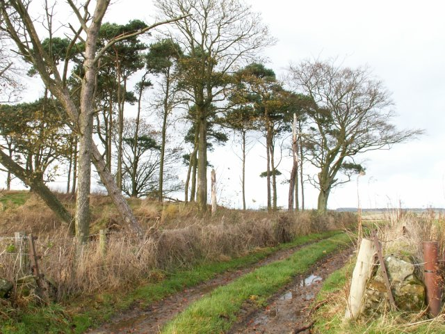 Scots Pines and farm track