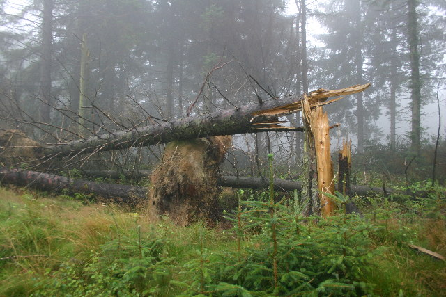 Storm Damage, Boltby Forest