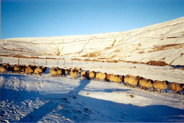 Sheep on Buckden Out Moor