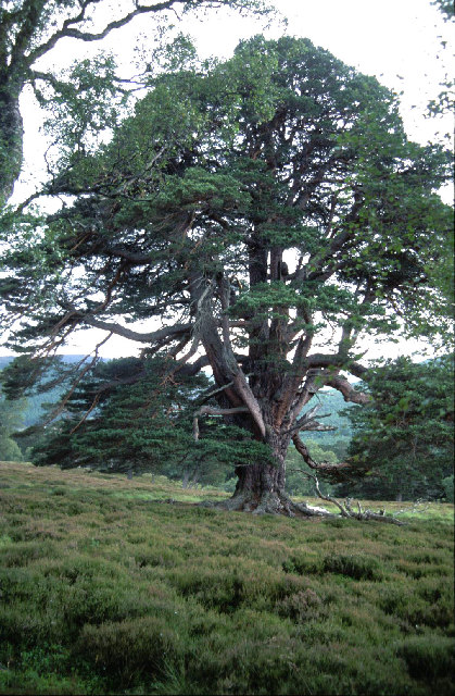 The oldest pine tree on the Mar Lodge estate