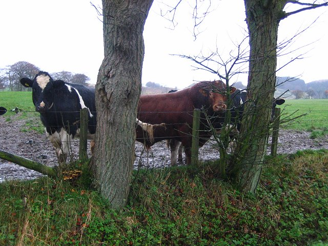 Wet cattle, Byres.