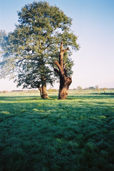 Tree, stump and farmland, Warfield