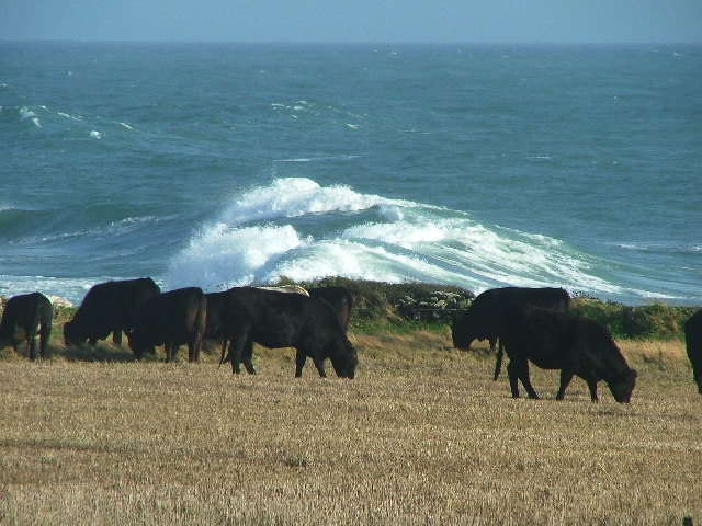 Cattle Grazing - Langerstone Point