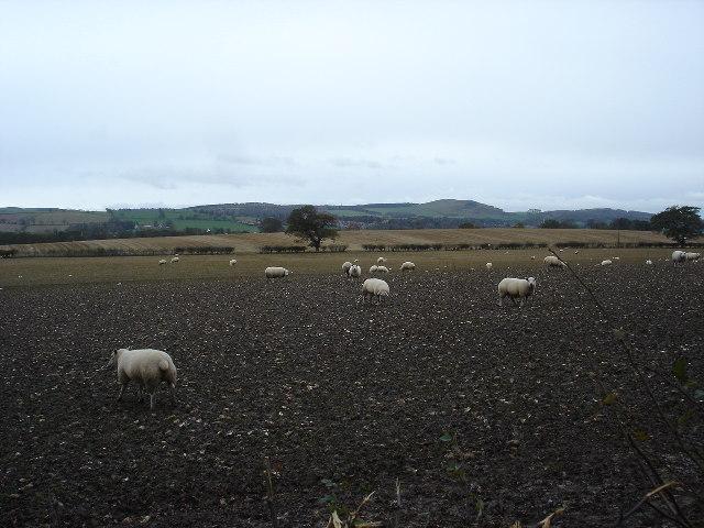 "Sheep grazing on ""tumshies""  (turnips)"