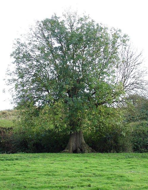 Venerable Ash tree