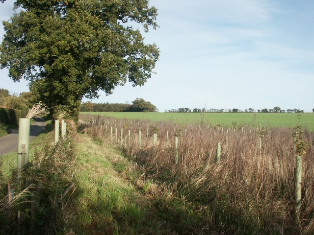 Newly planted trees, Marlingford