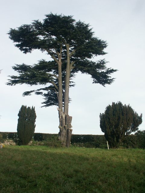 Yew tree, Colton church