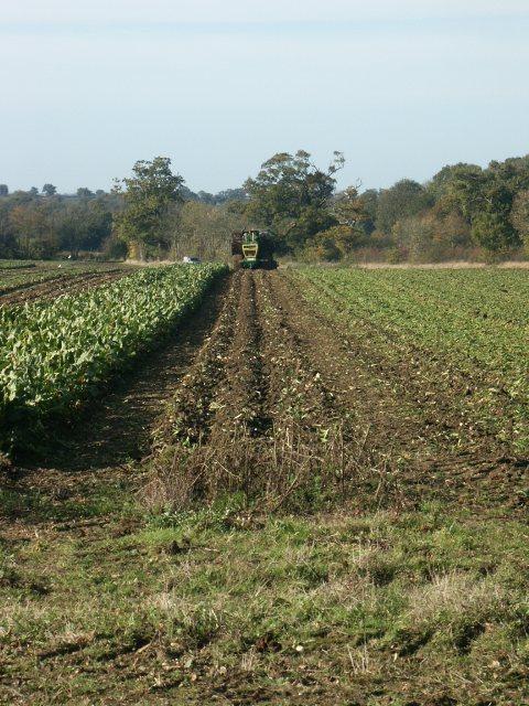 Sugar beet harvest, Wramplingham