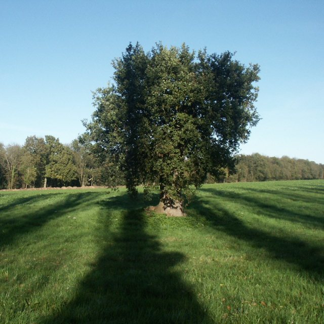 Survivor oak, near Carelton Forehoe