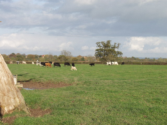 Cattle grazing by Ridley Wood